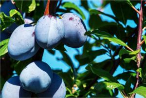 Švestka: výsadba a péče krok za krokem