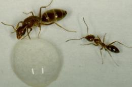 Argentinský mravenec = agresor