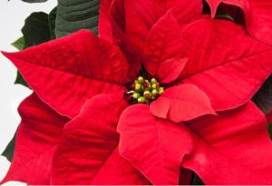 Vánoční hvězda - pryšec nádherný