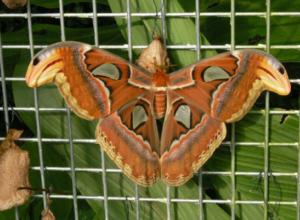 .Motýl s největší plochou křídel