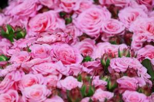 Balkonové růže